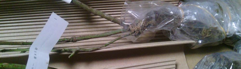 レイニーブルーとルシファーの苗木が届きました