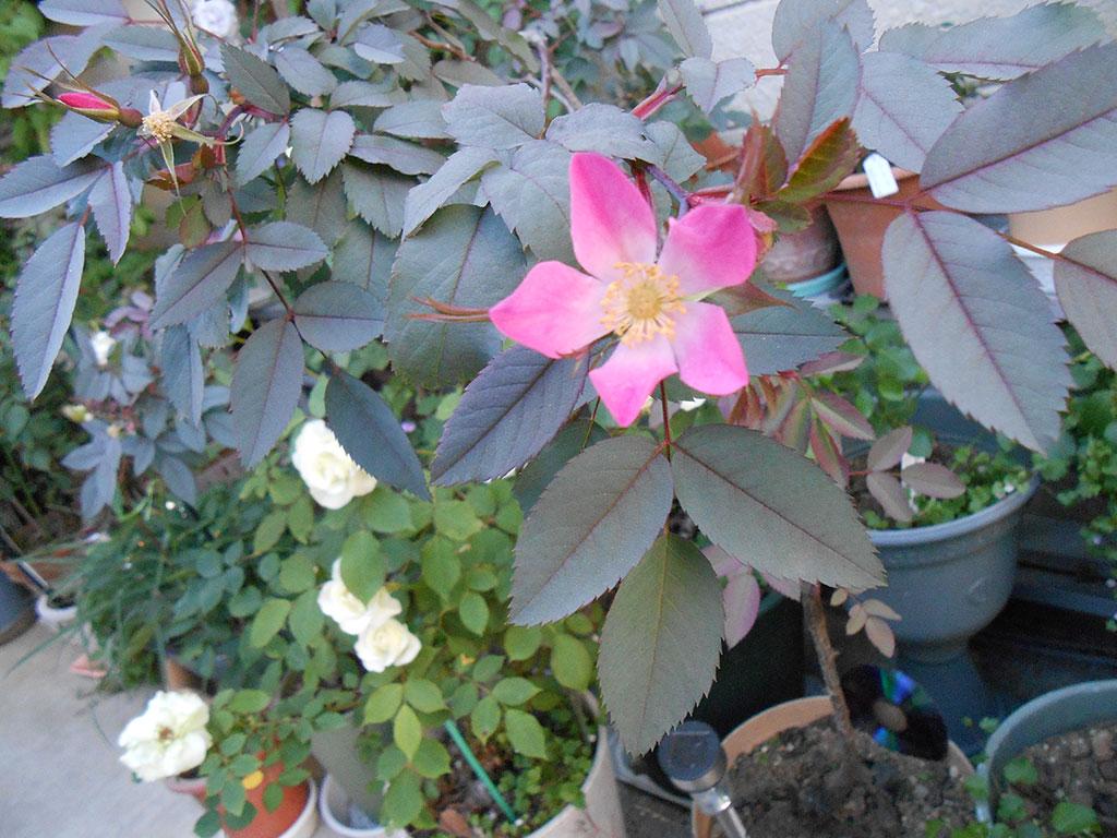 2014-05-16_Rosa-rubrifolia_01