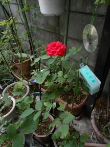 2014-06-19-hakiri-rose03