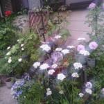 6月までのうちのバラたち