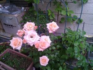 2013-06-15_garage-unknown-rose00