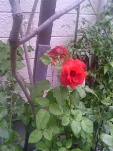 2013-06-22_garage-unknown-rose01