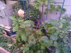 2013-08-05_garage-unknown-rose00