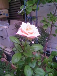 2013-08-06_garage-unknown-rose00