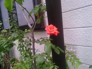 2013-08-06_garage-unknown-rose01