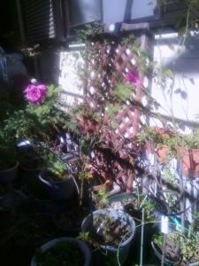 2013-11_23-garage-unknown-rose02