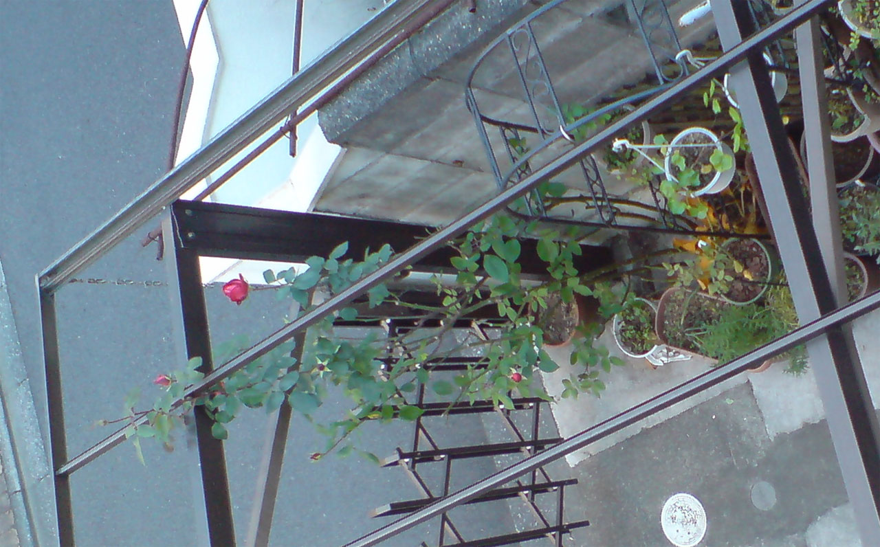 2013-12-15-unknown-rose-take-from-balcony