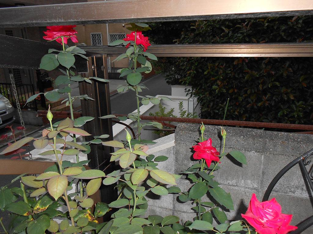 2014-06-30 赤いバラ
